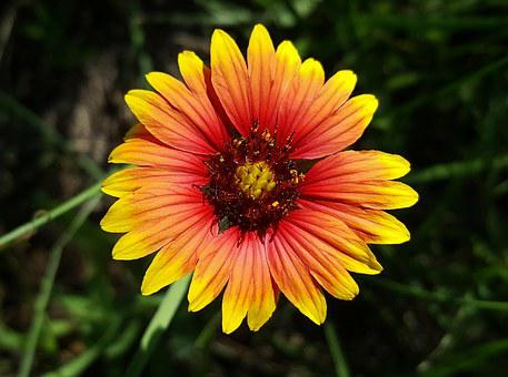 Blanket Flower, Flower, Firewheel, Wildflowers, Plant