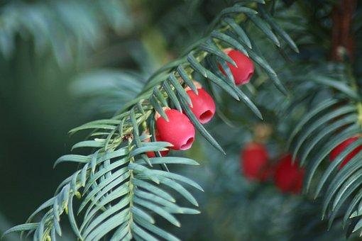 Yew, Autumn, Fruits, Berries