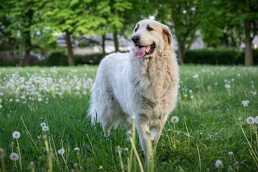 Dog, Meadow, Flower Meadow, Animal Portrait, Grass