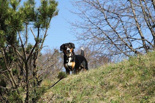 Dog, Entlebucher, Mountain Dog, Pet, Friendly, Charming
