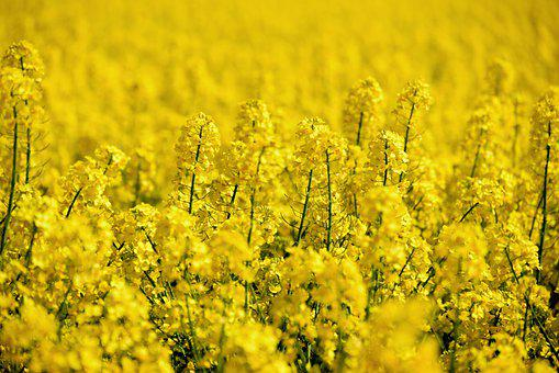 Oilseed Rape, Field Of Rapeseeds, Rape Blossom, Field
