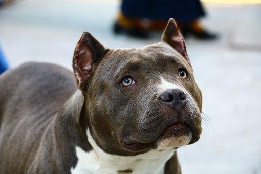 Dog, Köpek, Hayvan, Kahverengi, çikolata, Best Friend