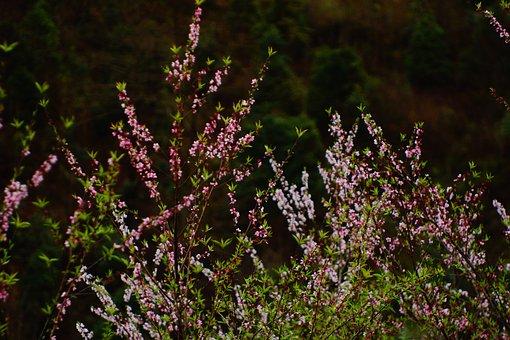 Blossom, Cherry Flowers, Vietnam Blossom