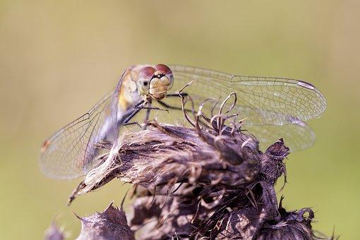Sympetrum Vulgatum, Common Heath Dragonfly