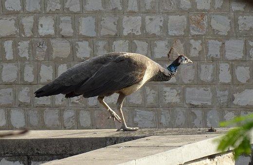 Bird, Peahen, Peafowl, Female, Peacock, Plumage