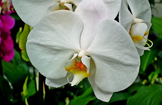 Orchids, Flowers, White, Potted, Exotic