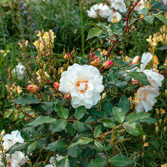 Rose, Garden, Flowers, Flower Garden, Garden Rose