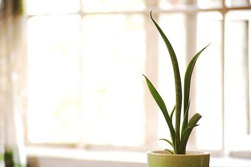 Vase, Green, Snake Plant, Houseplant, Sansevieria