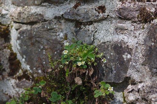 Strawberry, Plant, Flowers, Nature, Grow, Greenery