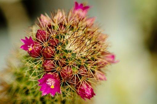 Flowers, Cactus, Plants, Nature