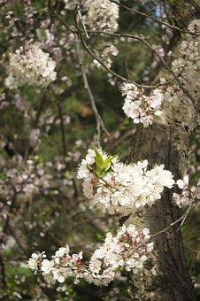Plum, Blossoms, Tree, Spring, Flowers, White, Tapestry