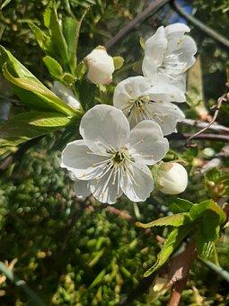 Flower, Plum, Spring, Branch, Tree, Garden, Bud