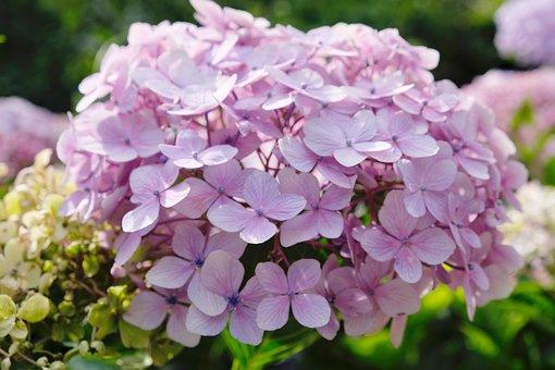 Hydrangea, Pink, Flower, Plant, Green, Natural