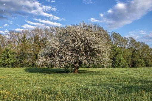 Fruit Tree, Flowers, Blossom, Bloom