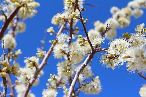 Fruit Tree, Blossoms, Plum, Branch, Flowers, Spring