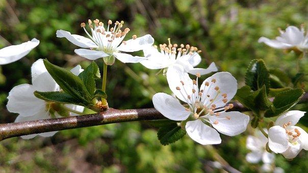 Myrobalan, Cherry Plum, Flowers, Blossoms, Stamen