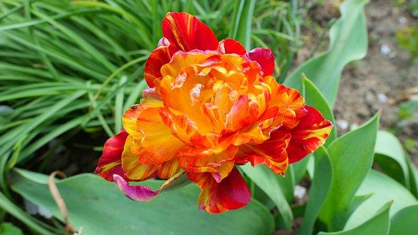 Tulip, Flower, Spring, Garden, Plant