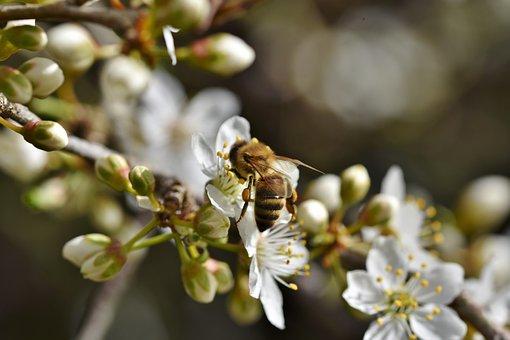Bee, Honey Bee, Insect, Pollen, Nectar