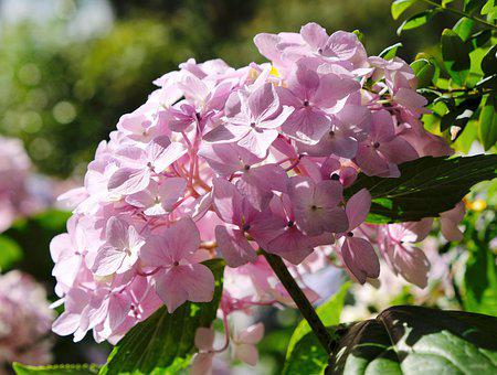 Hydrangea, Pink, Flower, In Full Bloom