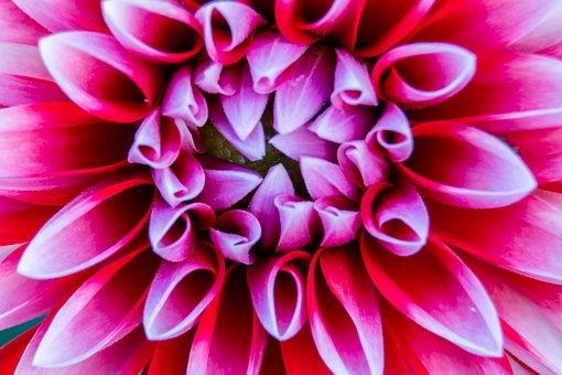 Dalia, Flower, Dahlias, Plant, Nature, Garden