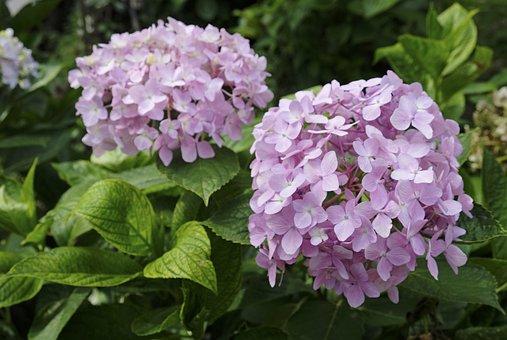 Hydrangea, Flower, Plant, In Full Bloom
