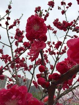 Plum Blossom, Red Apricot, Blue Sky