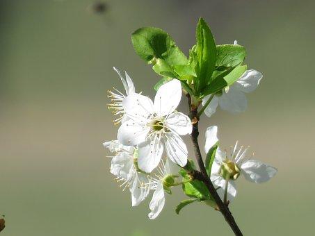 Plum Blossom, Blossom, Bloom, Spring
