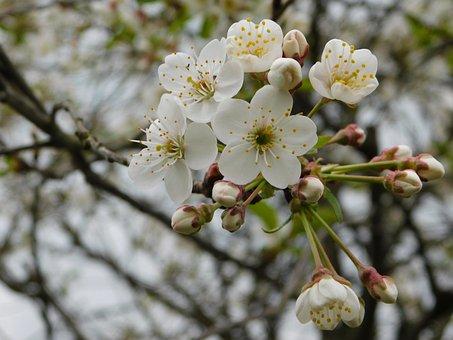 Plum-tree, Flowers, Spring, Nature, White, Blossom