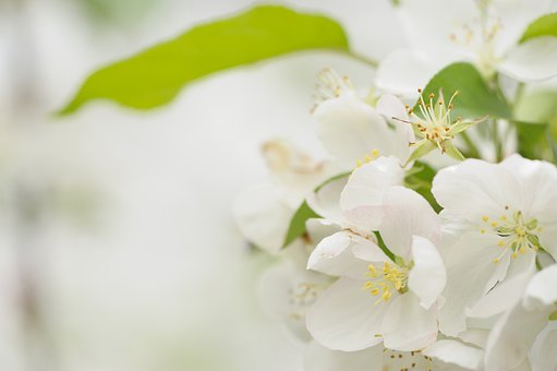 Blooming, Cherry Blossoms, Pure, White, Cherry, Flower