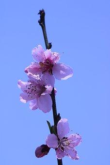 Sakura, Plum Blossom, Spring, Plum, Nature, Garden, Sky