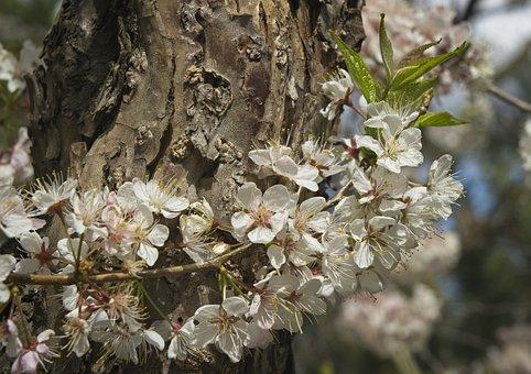 Plum, Blossoms, Tree, Trunk, White