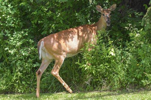 Animals, Wildlife, Nature, Deer, White-tail-doe
