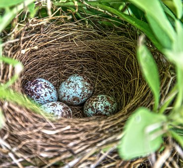 Nest, Robin, Eggs, Speckled, Easter, Wildlife, Spring