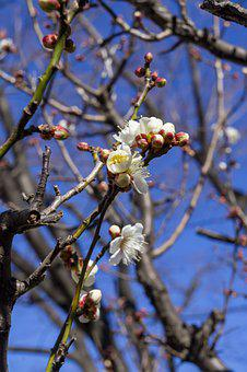 Plum, Out, Flowers, Japan, Winter, Plant, Wood, Natural