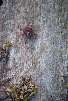 Acarid, Acarus, Animal, Arachnid