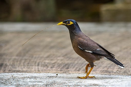 Common Myna, Acridotheres Tristis, Starling, Sparrow