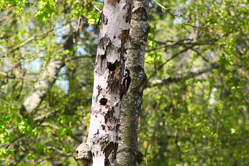 Great Spotted Woodpecker, Dendrocopos Major, Male Bird