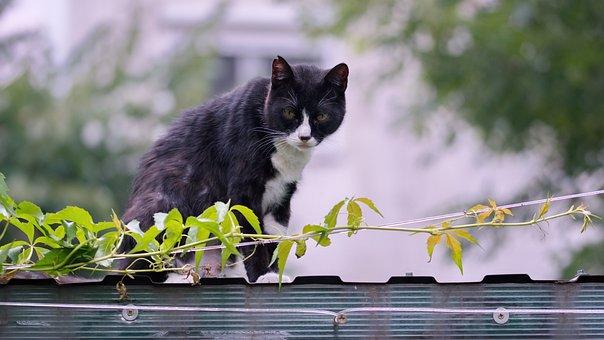 Cat, Pet, Domestic, Feline, Fur, Black, Pete, Whites