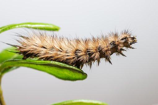Phragmatobia Fuliginosa, Insect, Animal, Animal Wing