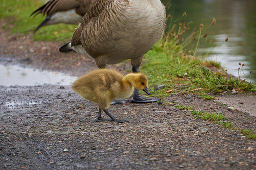 Baby, Goose, Gosling, Young, Chick, Cute, Fluffy