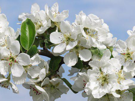 Pear, Spring, Blossom, Bloom, Pear Blossom