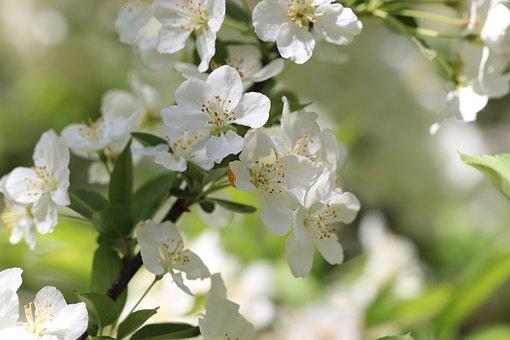 Pear, Pear Blossom, Fruit Tree Blossoming, Blossom