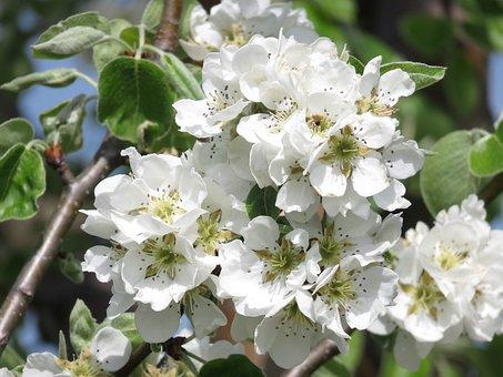 Pear, Spring, Blossom, Bloom, Blossom, Tree