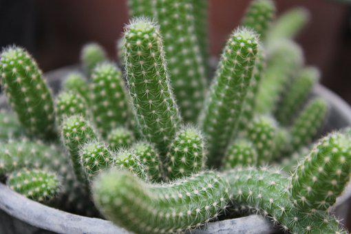 Cactus, Dea, Green, Plant, Nature