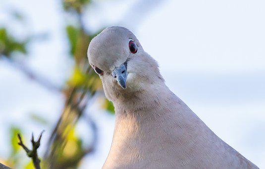 Collared Dove, Dove, Pigeon, Flying Rat