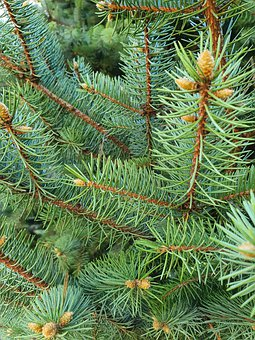 Spruce, Pine, Green, Needle, Needles, Forest, Stroll
