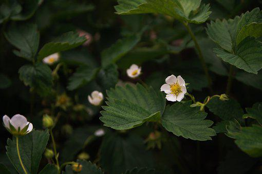 Strawberry, Flowers, Bloom, Spring, Summer