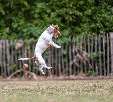 Dog, Jackrussel, Jump, Ball, The Enthusiasm