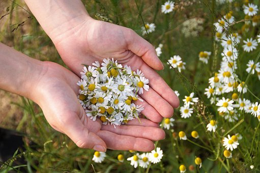 Chamomile, Genuine, Medicinal Herb, Collection, Tear