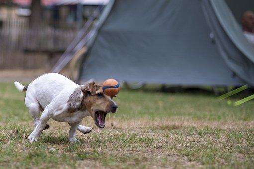 Dog, Jackrussel, Racing, Ball, Play, Happen
